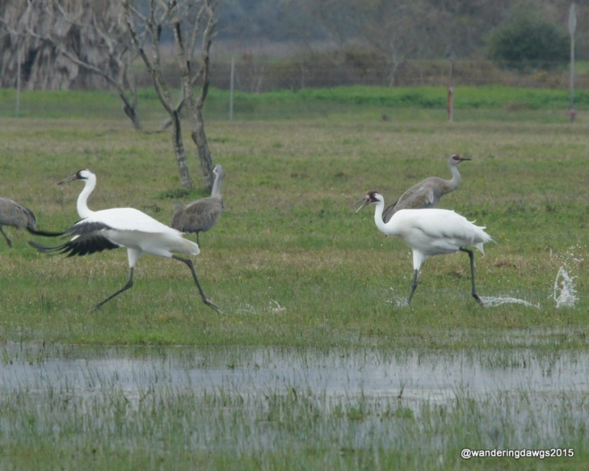 Whooping Cranes running and splashing