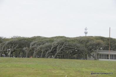 Windswept oak