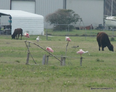 Roseate Spoonbills in farmers field