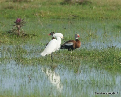 Snowy Egret with black-bellied whistling ducks