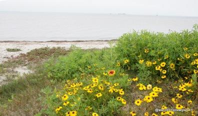 Wildflowers at Padre Island National Seashore
