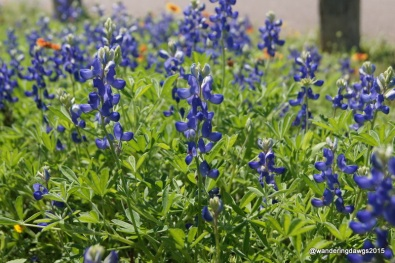 Bluebonnets in the campground