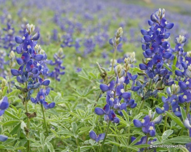 Texas Bluebonnets in Laredo