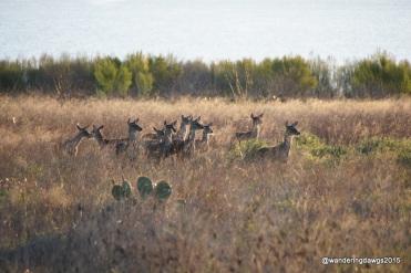 Deer, Canyon Lake