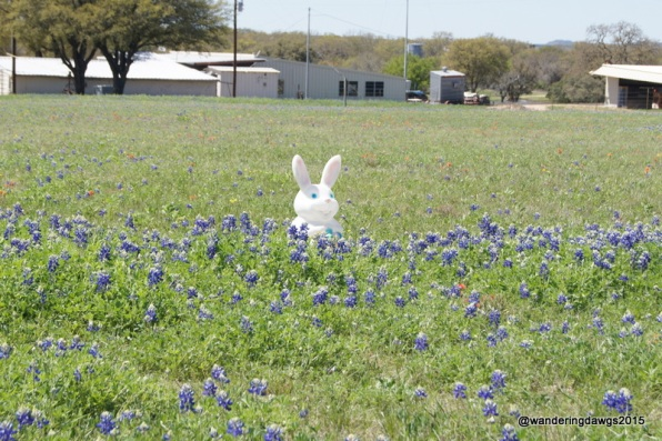 Bluebonnets near Stonewall, Texas
