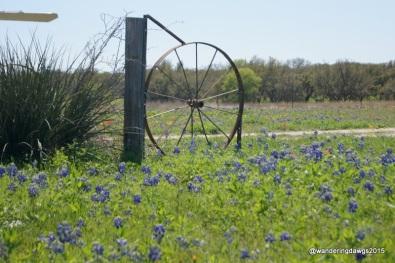 Bluebonnets near Stonewall, Texas