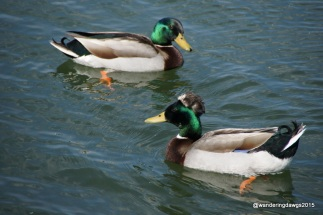 Mallards at Inks Lake