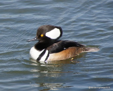 Hooded Merganser at Inks Lake