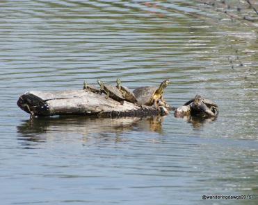Turtles on a log at Inks Lake