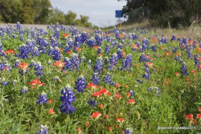 Bluebonnets and Indian Paintbrush along Park Road 4