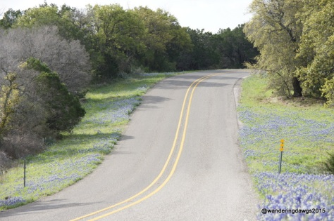 Bluebonnets lined the roads around Inks Lake