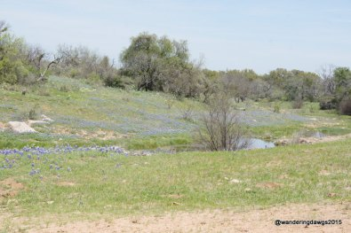 Bluebonnets beside a stream