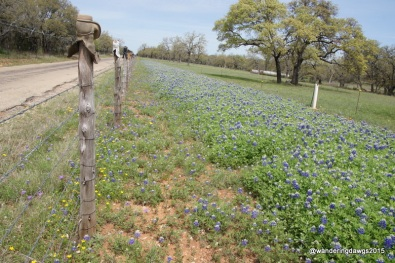 Bluebonnets beside boot topped fence