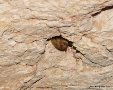 Eastern Pipistrelle bat about three inches long at Longhorn Cavern