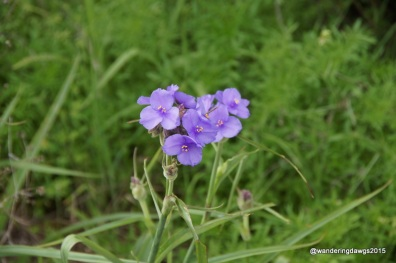 Spiderwort at Inks Lake
