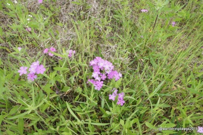 Phlox at Inks Lake