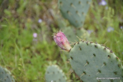 Cactus Flower at Inks Lake