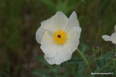 White Prickly Poppy Llano