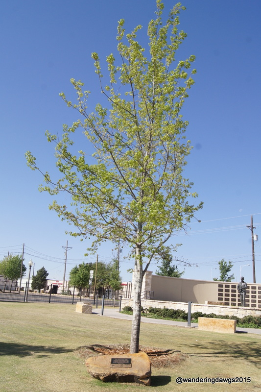 McCartney Oak commemorating Sir Paul McCartney's concert in Lubbock on October 2, 2014