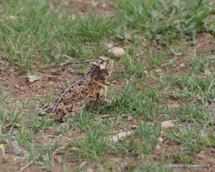 Texas Horned Lizard, Palo Duro Canyon State Park