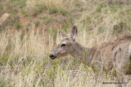 Mule Deer, Palo Duro Canyon State Park