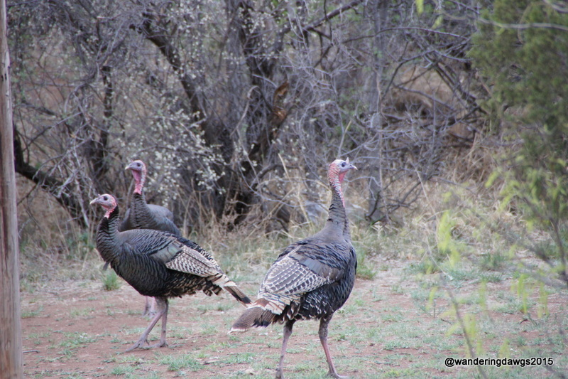 Wild Turkeys wandered through the campground