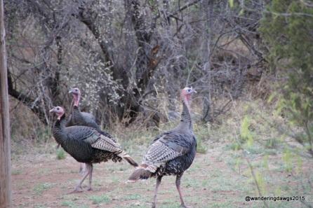Wild Turkeys, Palo Duro Canyon State Park