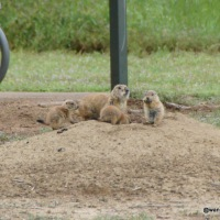 Prairie Dogs and Wildflowers at Lake Arrowhead