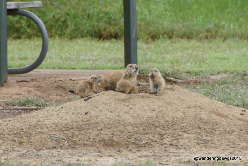 Prairie Dog Mama and babies