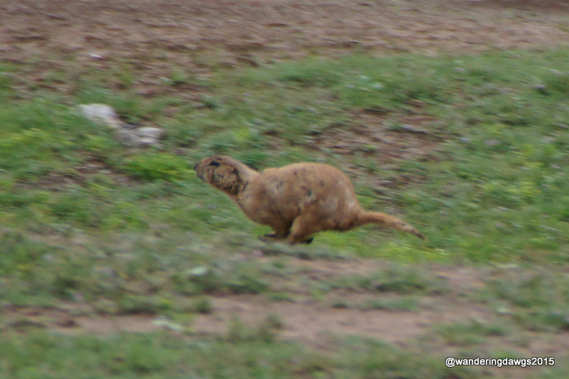 Prairie Dog Running through the campground