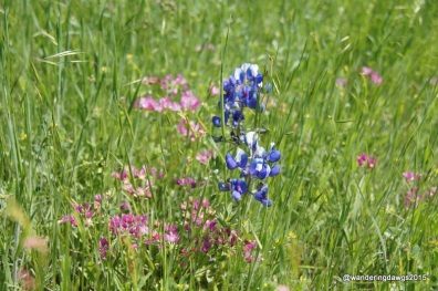 Bluebonnets and Indian Paintbrush at Lake Arrowhead