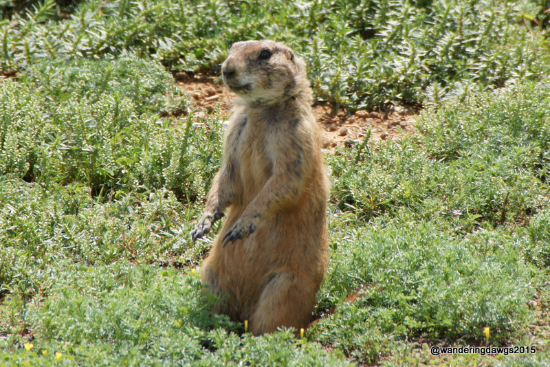Prairie Dog at Lake Arrowhead