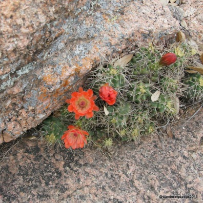 Claret Cup Cactus Flower Enchanted Rock Summit Trail