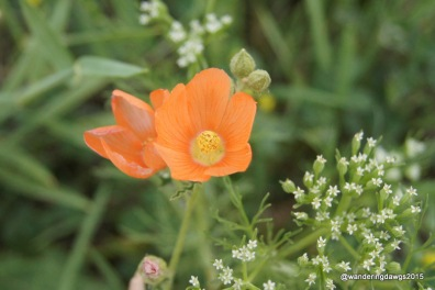 Unknown wildflower beside a rest area in the Texas Plains