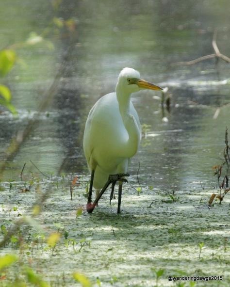 Great Egret in Lake Bistineau