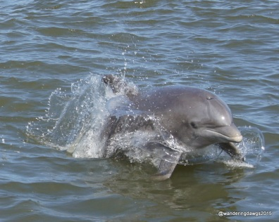 Atlantic Bottlenose Dolphin near Tybee Island, Georgia
