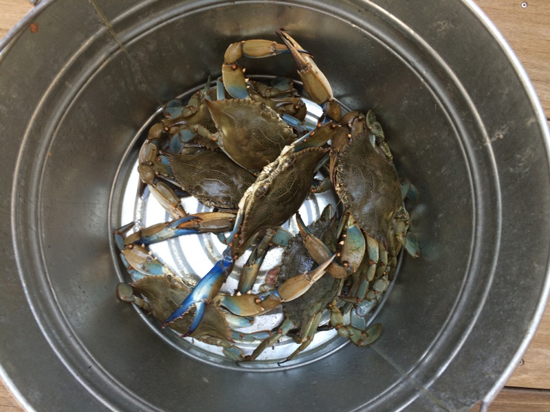 Nothing better than catching, cooking, and eating Georgia Blue Crabs