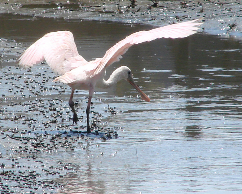 Roseate Spoonbill fishing in Georgia tidal creek