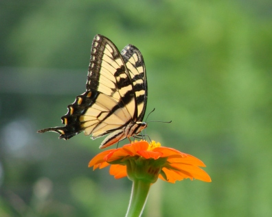 Butterflies and Blooms Tiger Swallowtail