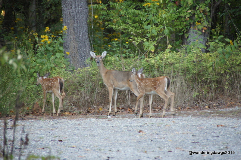 Deer visited the campground on our last morning at Claytor Lake