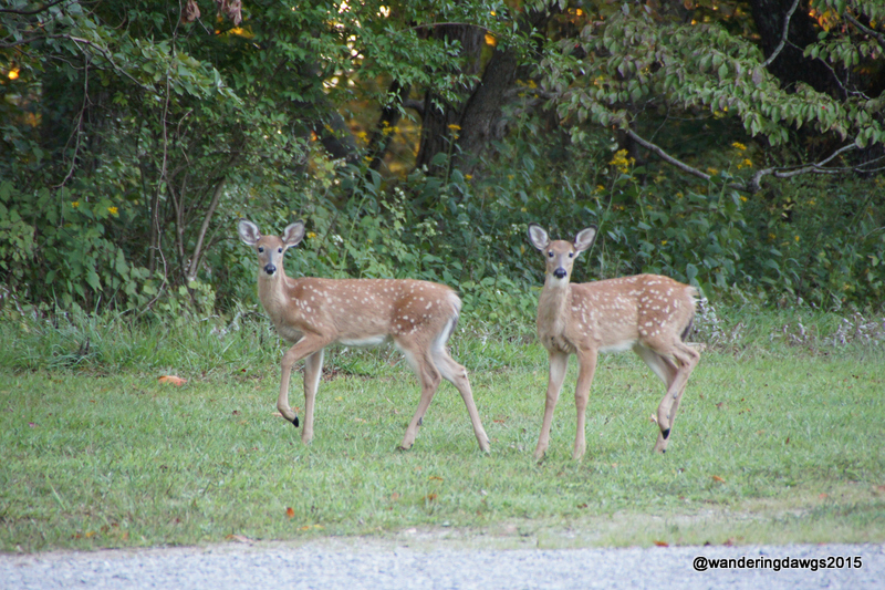 Two fawns in the campground