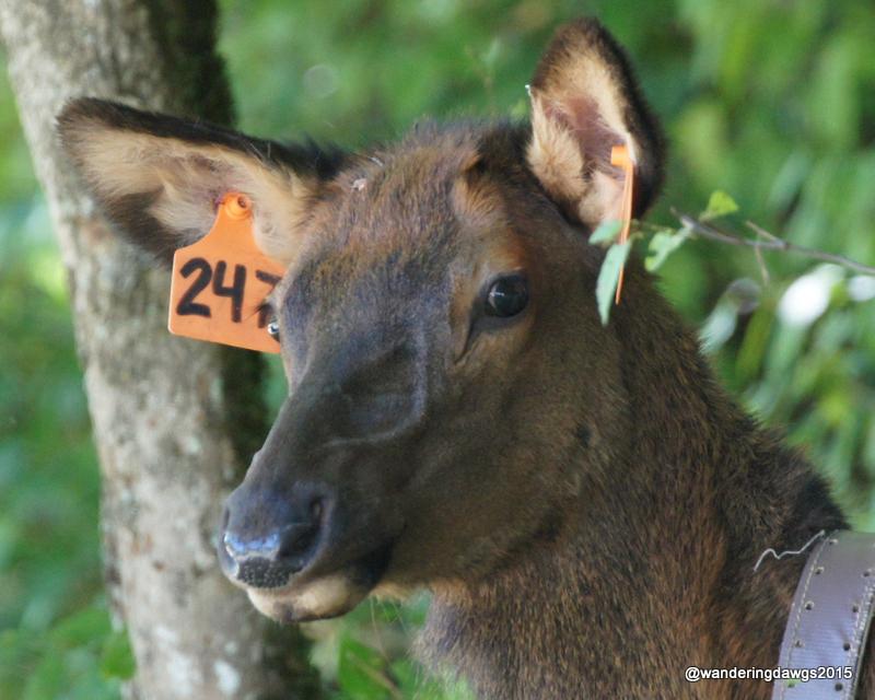 Mama Cow Elk in Cataloochee Valley