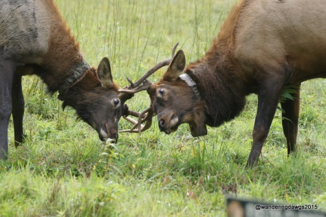 Two young male elk lock antlers in Cataloochee Valley