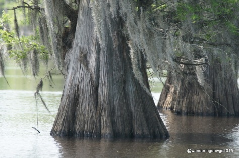 Cypress Trees dripping with Spanish Moss at Lake Bistineau