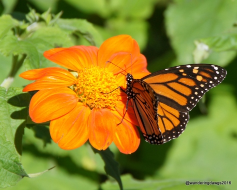 Monarch on Mexican Sunflower