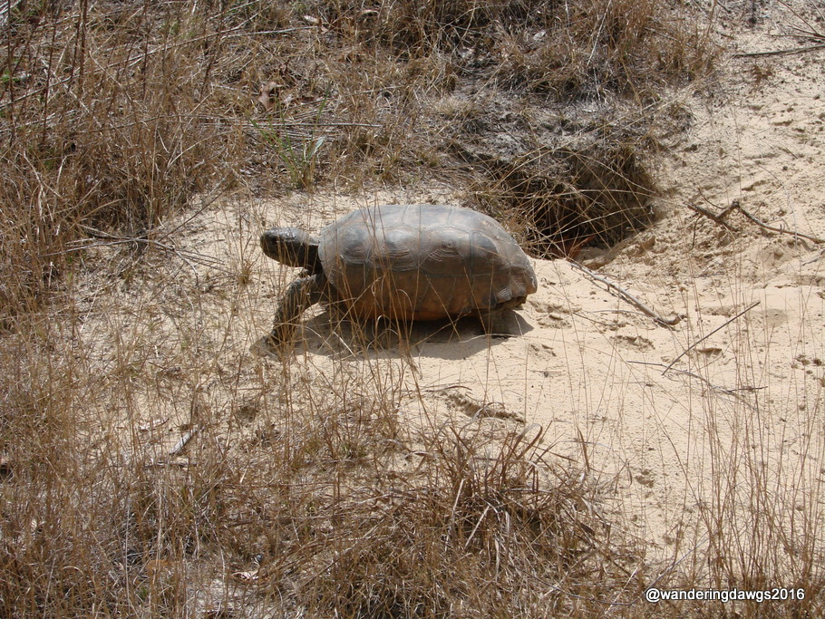 Gopher Tortoise at our campsite Silver River State Park