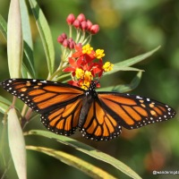 Vibrant Monarch Butterflies