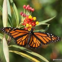 Vibrant Monarch Butterflies
