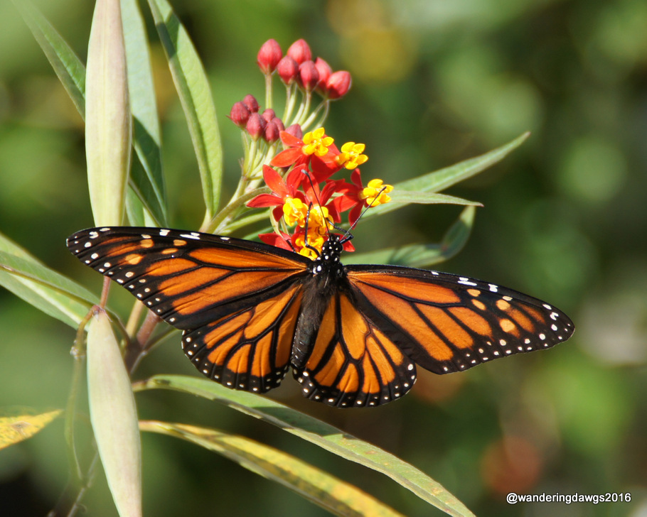 Vibrant Monarch Butterfly