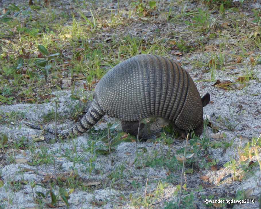 Armadillo in our campsite